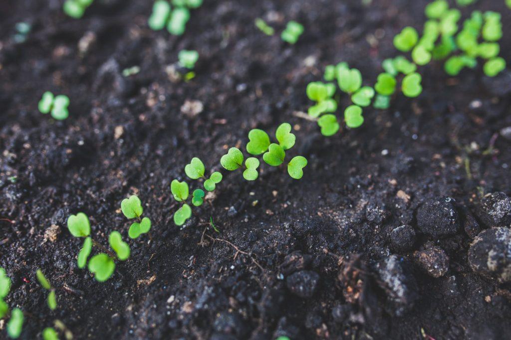 rucola salad plant leaf